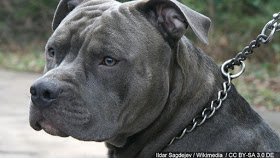 Pitbull Severely Raped Then Hanged By Its Owners